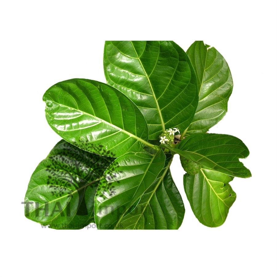 noni leaf thai import